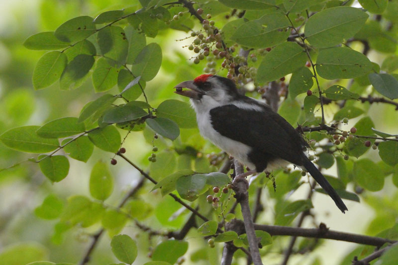 Black-backed-Barbet-1