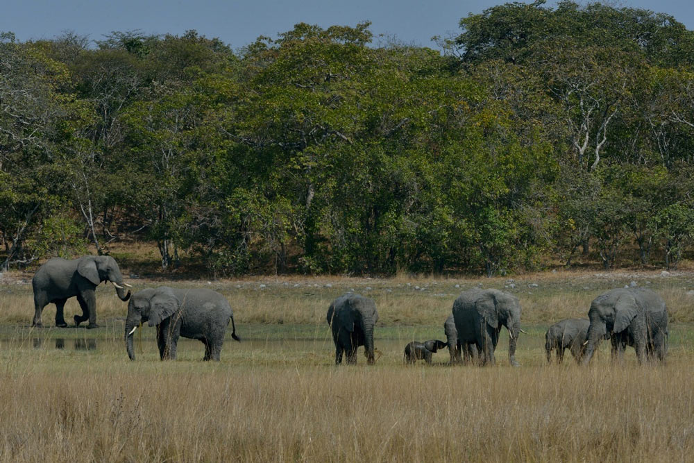 Elephant_Family-herd-(1)-miombo woodland