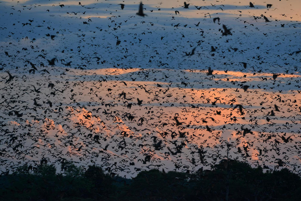 Kasanks Bat Migration