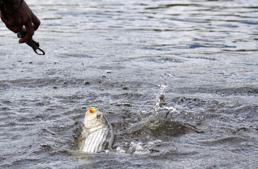 tiger-fish-kwando